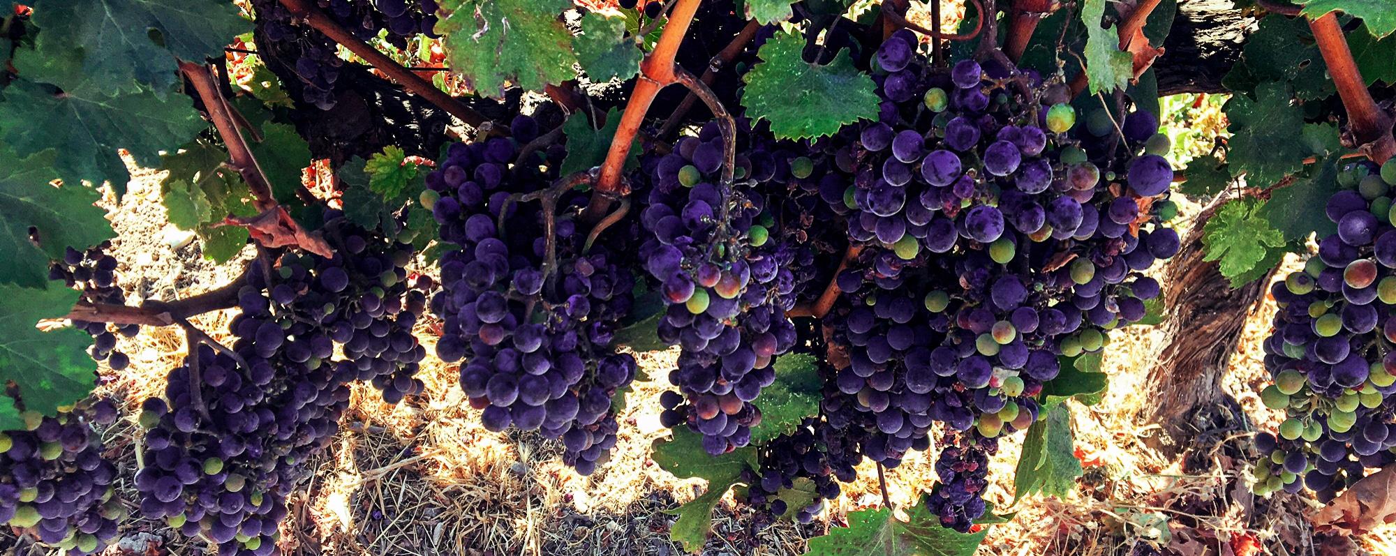 Bio Weintrauben von Mesarino Weingut